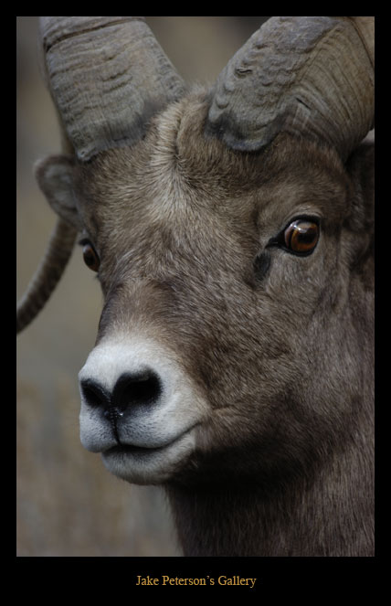 bighornsheephead-11_13-web.jpg