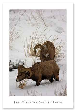 bighorn-sheep-1_15.jpg