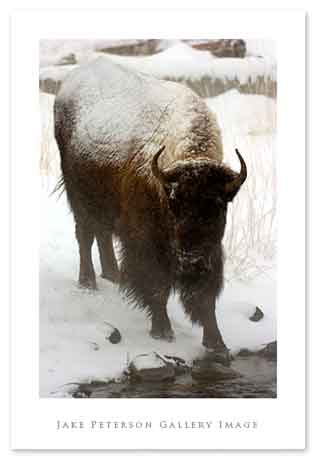 bison-at-river-1_20web.jpg
