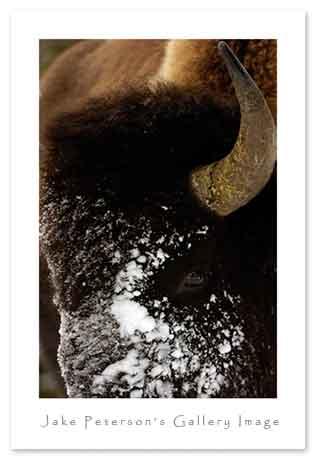 bison-close-up-1_13web.jpg