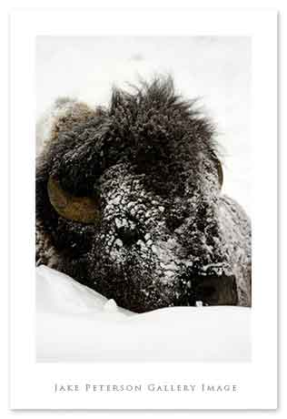 bison-head-1_20web.jpg