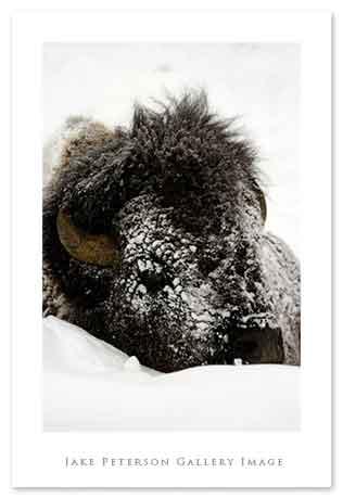bison-head-1_20web.jpg
