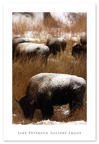 bison-with-herd-1_20web.jpg