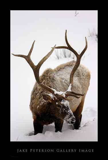 bull-elk-1_20web.jpg
