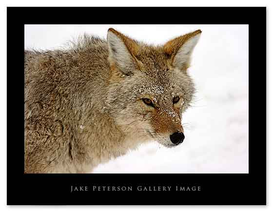coyote-facing-me-1_20web.jpg