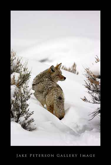 coyote-in-sage-brush-1_20web.jpg
