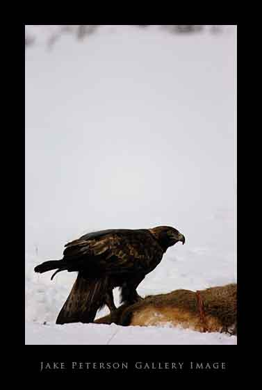 golden-eagle-on-elk-carcass-1_15.jpg