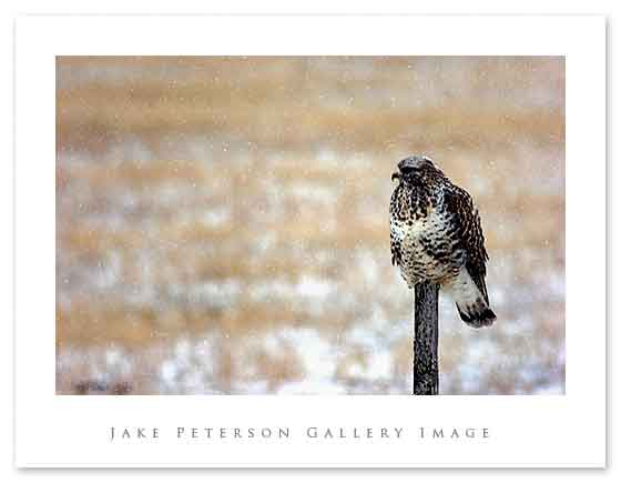 rough-legged-hawk-1_15.jpg