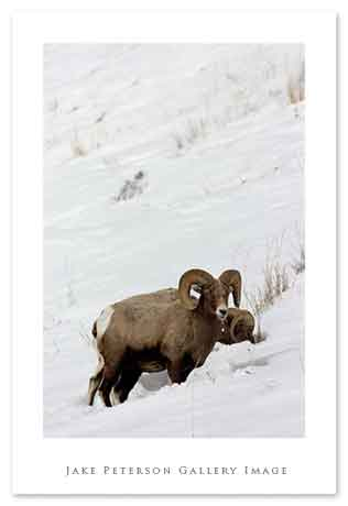 bighorn-sheep-2_10-lamar-valleyweb.jpg
