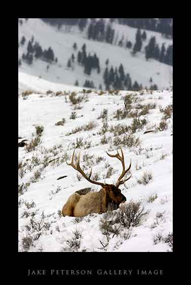 bull-elk-2_10-lamar-valleyweb.jpg