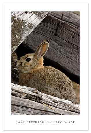 mountain-cottontail-3_30web.jpg