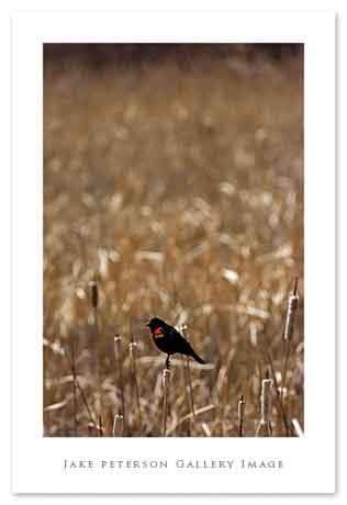 red-wing-blackbird-3_30web.jpg