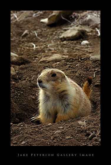 black-tailed-prairie-dog-vert-4_6.jpg