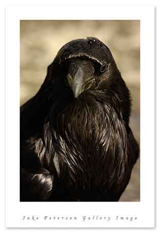 raven-yellowstone-4_20.jpg