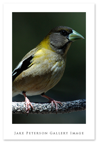 female-evening-grosbeak-5_31.jpg