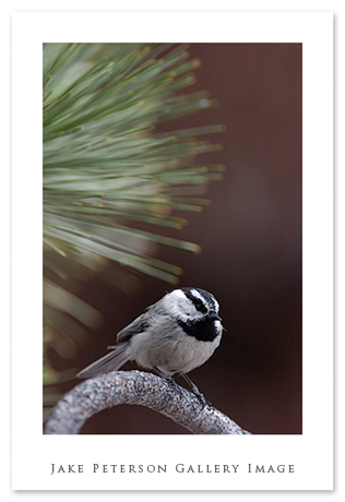 mountain-chickadee-5_27.jpg