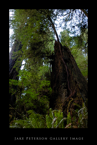 redwood-trunk-5_21.jpg