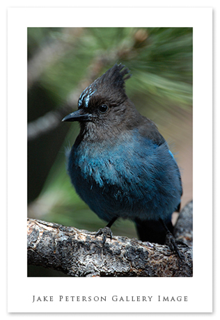 steller-jay-office-window-5_27.jpg