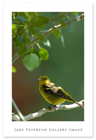 female-western-tanager.jpg