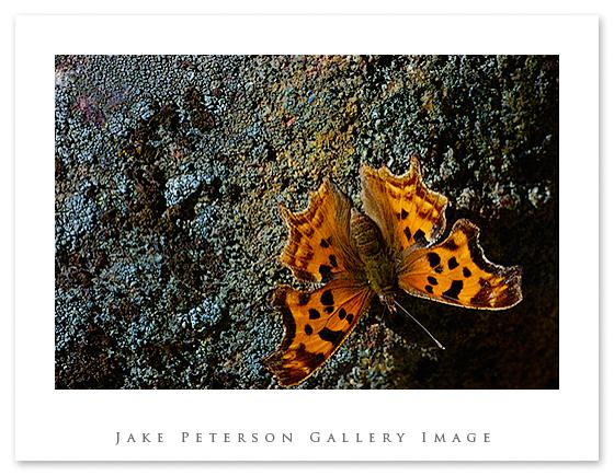butterfly-copy.jpg